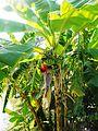 Banana tree (23430761900).jpg
