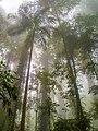 Bangalow palm (Archontophoenix cunninghamiana) and rainforest canopy, Dorrigo National Park, New South Wales 01.jpg