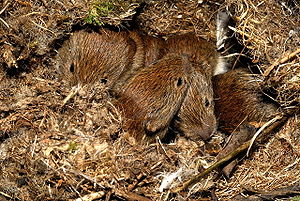 Bank vole - Young bank voles in their nest beneath a wood pile