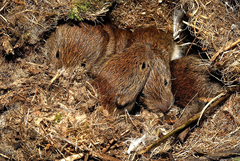 File:Bank voles.jpg