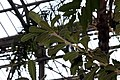 Banksia serrata 8zz.jpg