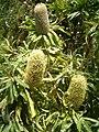 Banksia serrata BotGardBln07122011B.JPG