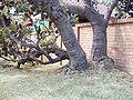 Banksia serrata trunk kirrawee email.jpg