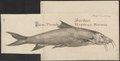 Barbus vulgaris - 1726 - Print - Iconographia Zoologica - Special Collections University of Amsterdam - UBA01 IZ15000100.tif