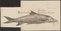 Barbus vulgaris - 1726 - Print - Iconographia Zoologica - Special Collections University of Amsterdam - UBA01 IZ15000100.tif