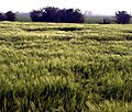 Barley Field - geograph.org.uk - 815591.jpg