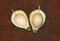 Barringtonia racemosa09.jpg