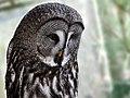 Bartkauz - Great Grey Owl (Strix nebulosa) - Weltvogelpark Walsrode 2012-007.jpg