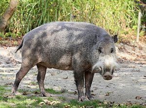 Bornean bearded pig - At the Hellabrunn Zoo (Munich)