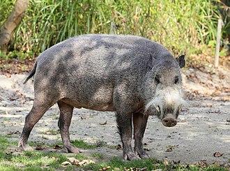 Bornean bearded pig - Image: Bartschwein Sus barbatus Tierpark Hellabrunn 6