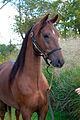 Bay Morgan horse, looking for treats!.jpg