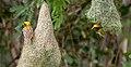 Baya Weaver (Ploceus philippinus)- Male W2 IMG 0732.jpg