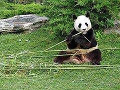 Beauval - Panda géant 08.jpg