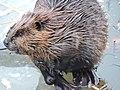 Beaver Preparing for Winter (d34648d9-10ec-44bb-bfce-9d4c2b20ee18).JPG