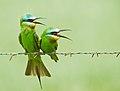 Bee-eater Courtship (7364348244).jpg