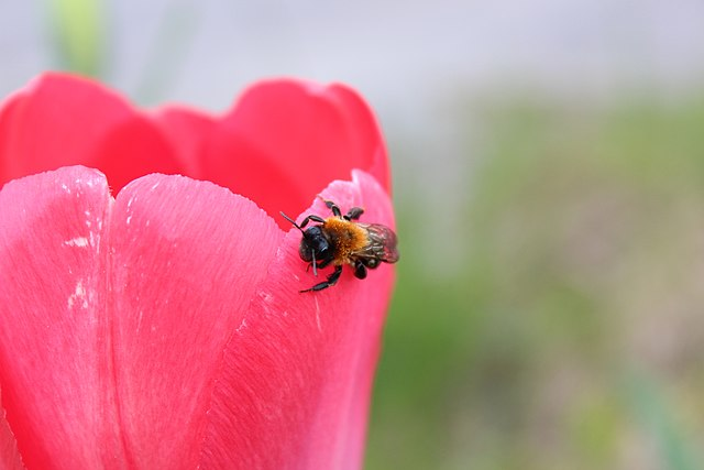 Bee on a tulip