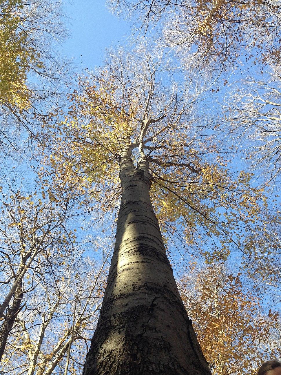 Beech Tree in Warren Woods, MI, USA