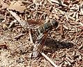 Beefly, Bombyliidae (33105227965).jpg
