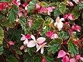 Begonia coccinea Hook. (AM AK299370-1).jpg