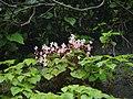 Begonia crenata (6026367018).jpg