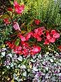 Begonia semperflorens and Lamium maculatum, Highdown Gardens, Worthing.jpg