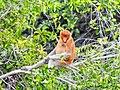 Bekantan chilling at Pulau Bakut.jpg