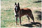 Belgian Malinois male Flickr.jpg