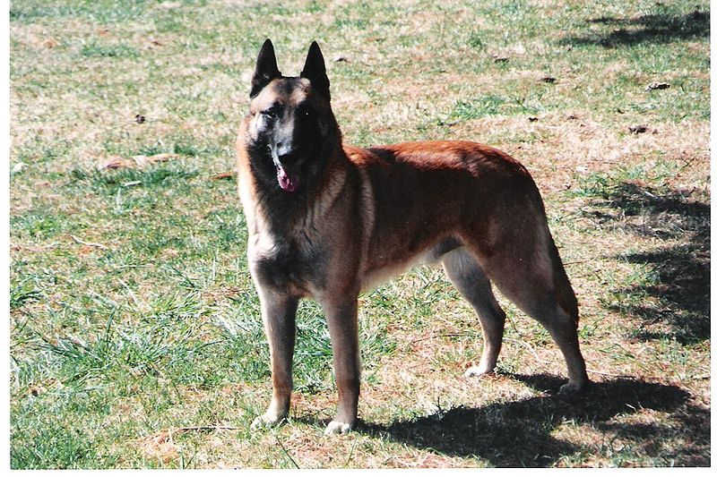 German Shepard Guard Dogs For Sale Saskatchewan Alberta