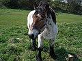 Belgian horse - panoramio.jpg