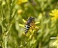 Bembix species, female (33087961080).jpg
