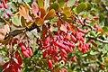 Berberis vulgaris. Espinela (frutu).jpg