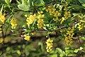 Berberis vulgaris 09.jpg