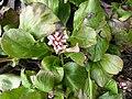 Bergenia purpurascens (Saxifragaceae) plant.jpg
