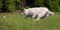 Berger Blanc Suisse5.png