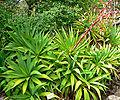 Beschorneria albiflora 5.jpg