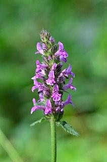 <i>Betonica officinalis</i>