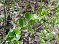 Betula nana 2017-05-06 9789.jpg