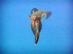 Bigfin Reef Squid 3.jpg