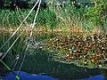 Biotope Lake of Gargazzone - Photo by Giovanni Ussi - Lake and surrounding vegetation (51) 04.jpg
