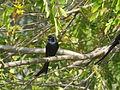 Bird (Black - Unidentified).JPG