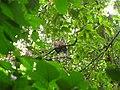 Bird White throated Brown Hornbill Anorrhinus austeni IMG 8142 15.jpg