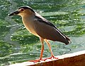 Bird at Guindy Childrens Park, Chennai - panoramio.jpg