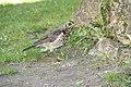 Bird in Visby (2) (Kenny McFly).jpg