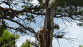 Bird sitting in pine tree.png