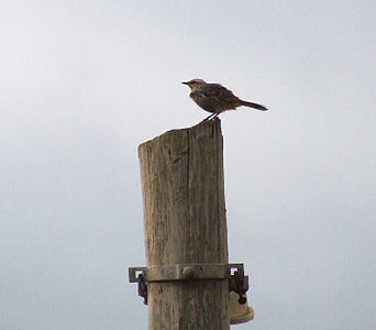 Bird in Paulínia