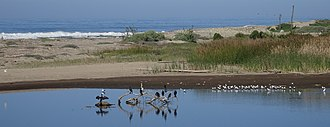 Emma Wood State Beach - Image: Birds in Ventura River estuary