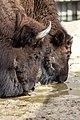 Bison bison - 04.jpg