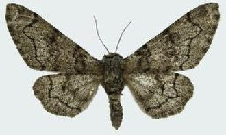 Peppered moth - Image: Biston betularia nepalensis female