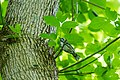 Black-and-white warbler (34612860011).jpg