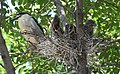 Black-crowned Night-Heron young and parent (48432228187).jpg